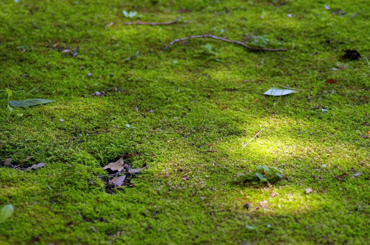 芝生に生えた苔の除去が面倒…おすすめの除草剤と防除方法を紹介