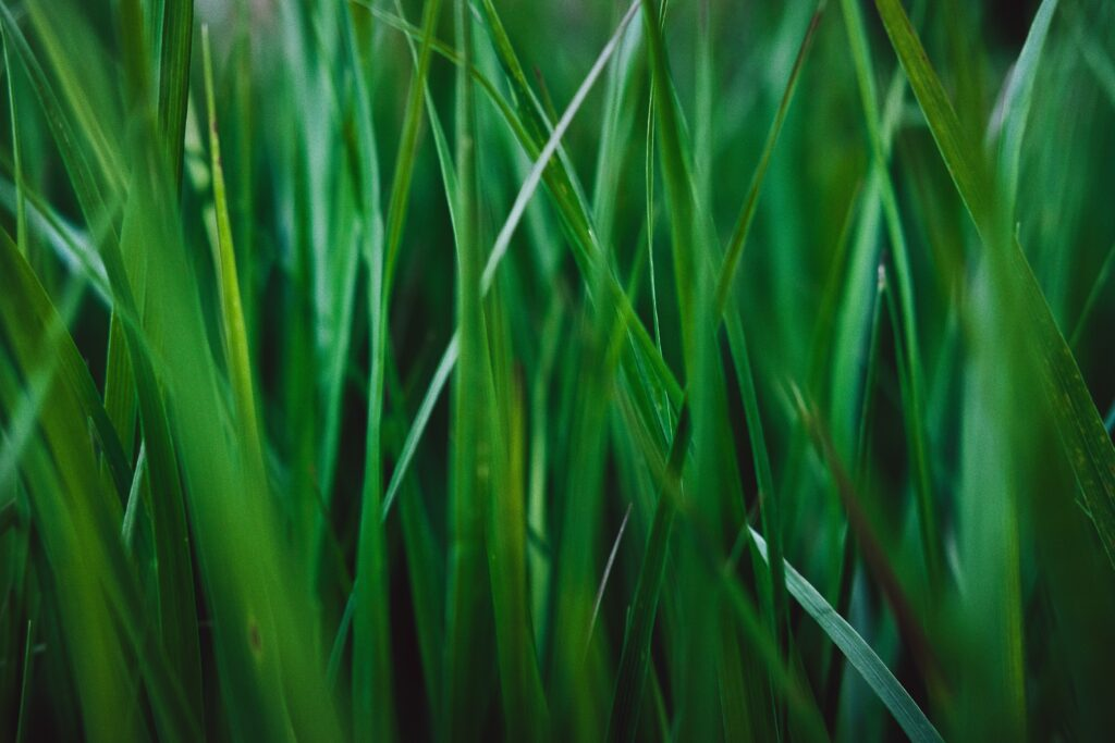 高麗芝の特徴