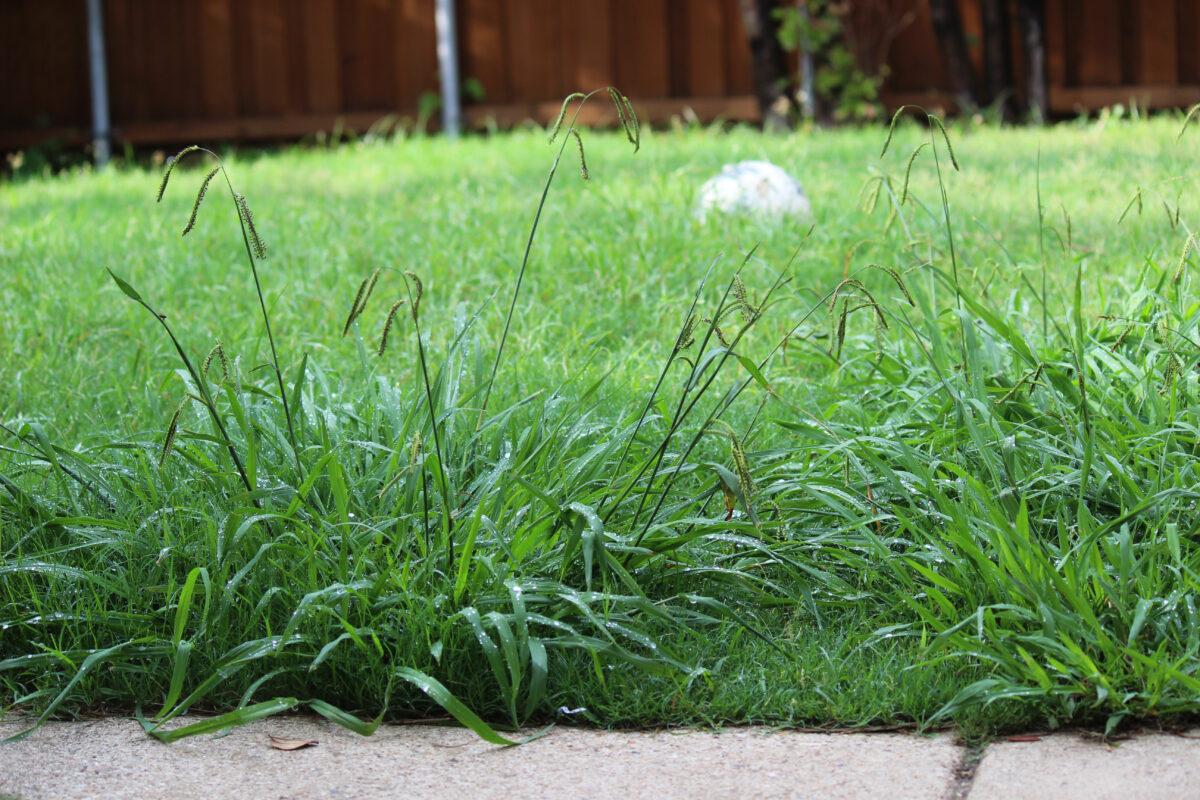 【芝生にとって雑草は天敵!】雑草が及ぼす影響やメヒシバやオヒシバなどの雑草の種類と被害について